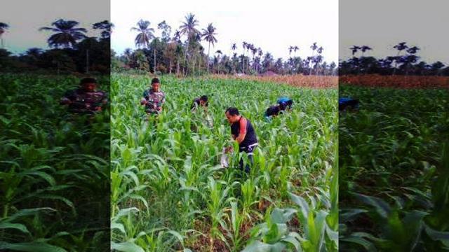 "Koramil 15 / Bandar Pulau Dampingi Kelompok Tani ""Gajah Jaya"" Asahan Perawatan Tanaman Jagung"