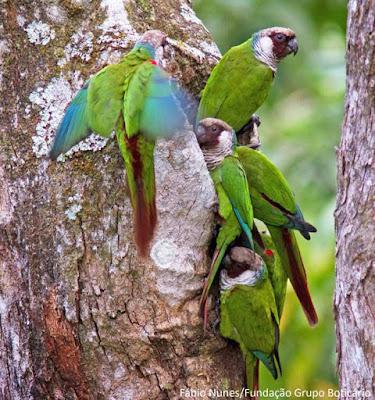 Periquito-cara-suja, Pyrrhura griseipectus, Gray-breasted Parakeet,  tiriba-de-peito-cinza, extinção, aves ameaçadas, aves do brasil, animais ameaçados de extinção, birds, periquito, tiriba, pássaros do brasil, pássaros, natureza, blog natureza e conservação, wildlife, nature, picture birds, aves da caatinga, aves da mata atlântica, ave na natureza, na natureza