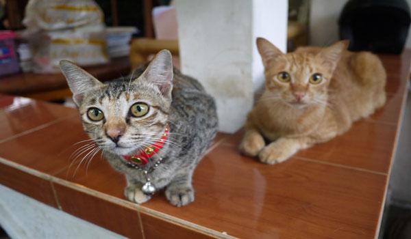 Manfaat dan Khasiat Kucing Untuk Kesehatan Serta Tafsir Mimpinya