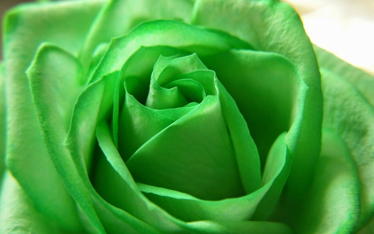 green rose black background - photo #16