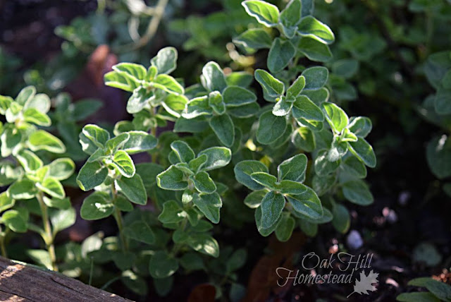 Oregano. (c) Oak Hill Homestead