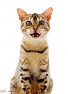 tentang apa yang kucing bicarakan