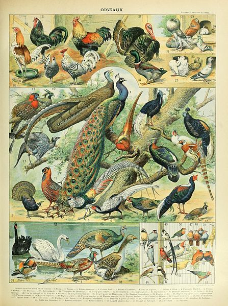 Galináceos (Galliformes)