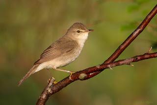 Burung Blyth's reed warbler,si kecil bersuara mantab
