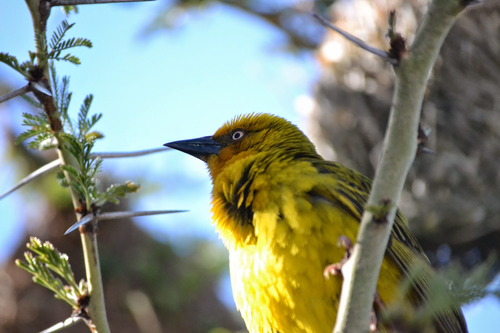 Cape Weaver view from below