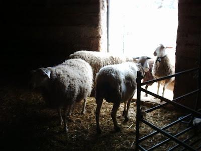 los olivares ,camino ,pantano de Pena, Beceite, Beseit, ovejas, ganadería