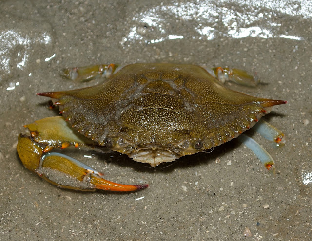 Blue Crab South Carolina