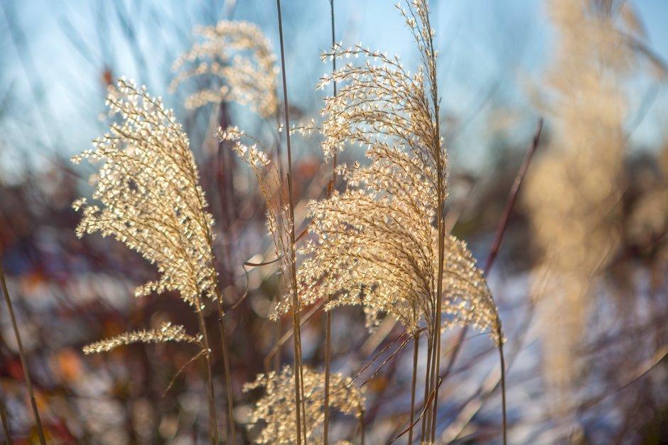 Inflorescencia Miscanthus gramíneas ornamentales