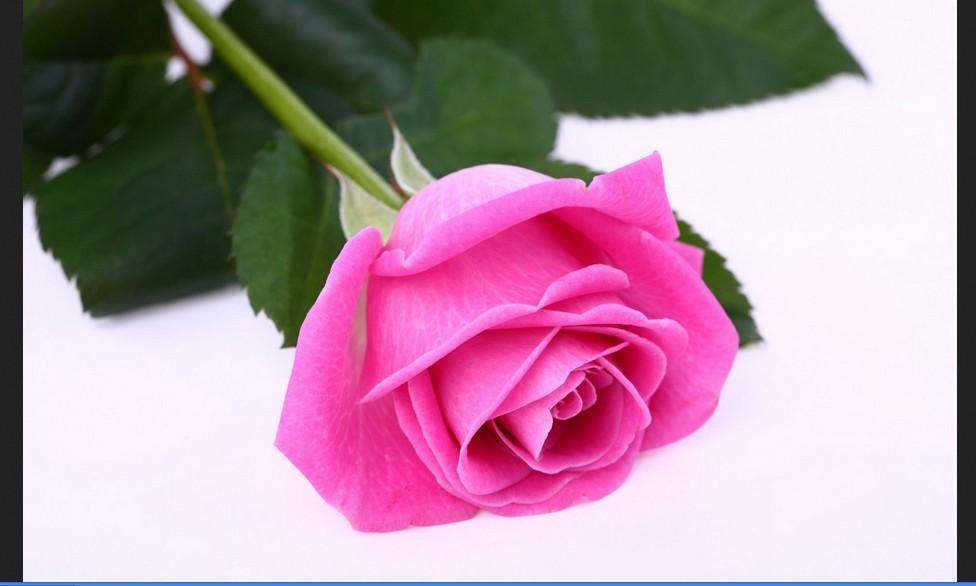 Free Pink Roses Wallpaper