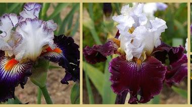 Nuevos cultivares de Iris que se verán en Chelsea Flower Show 2016