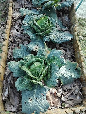 Quando coltivare la verza in un orto biologico