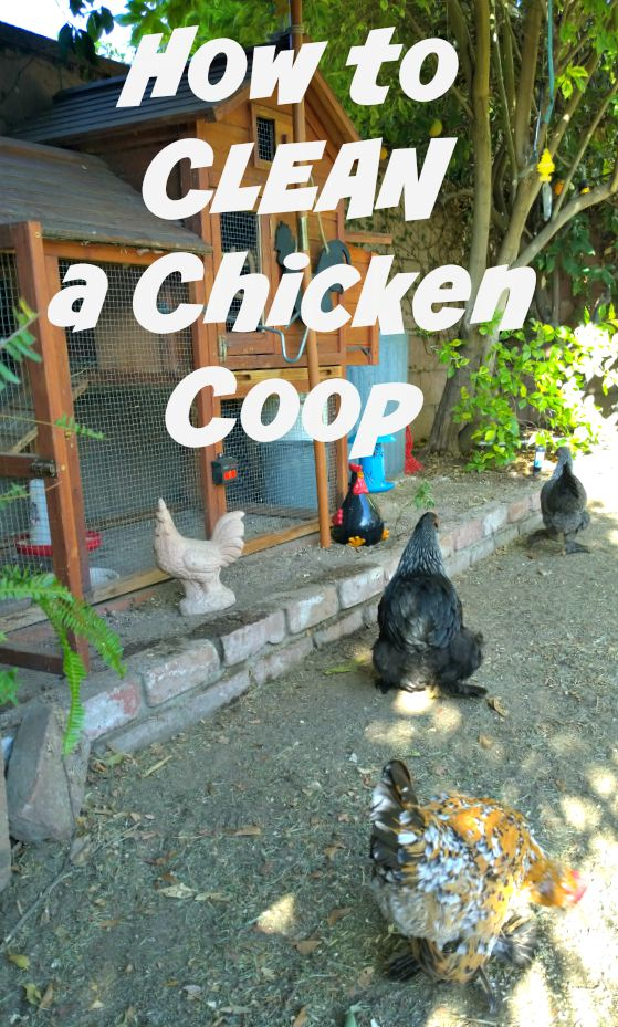 Chicken Coop, cleaning a coop, backyard chickens