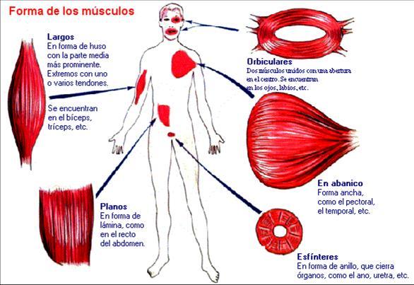 estructura y funcion del tejido muscular estriado