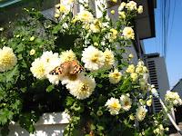 白抗菊花とアカタテハ