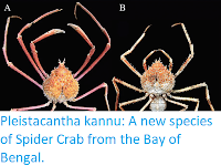 http://sciencythoughts.blogspot.co.uk/2017/12/pleistacantha-kannu-new-species-of.html