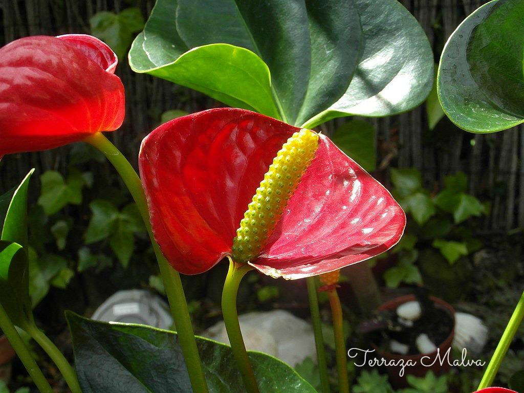 Anturio anthurium scherzerianum terraza malva for Anturio cuidados