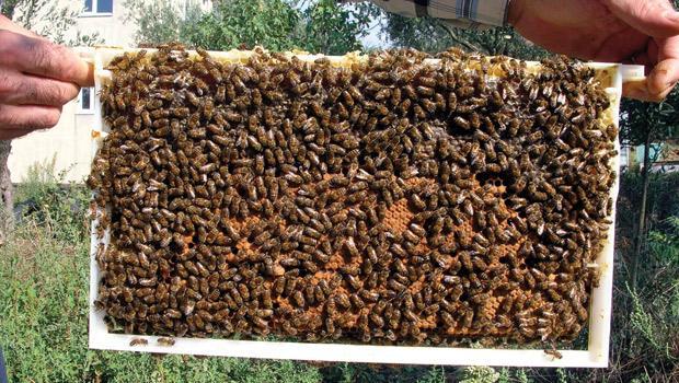 Πωλούνται 30 μελίσσια μαζί με τις κυψέλες τους σε άριστη κατάσταση | Μελισσοκομικές Αγγελίες