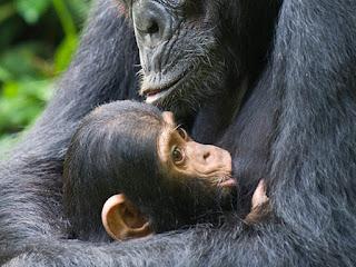 amor de una madre chimpance a su hija discapcitada
