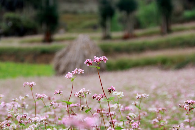 The Ideal Place To See The Buckwheat Flower in Ha Giang 5