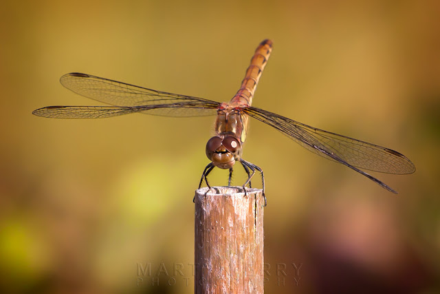 Macro image of a female common darter dragonfly taken at Ouse Fens