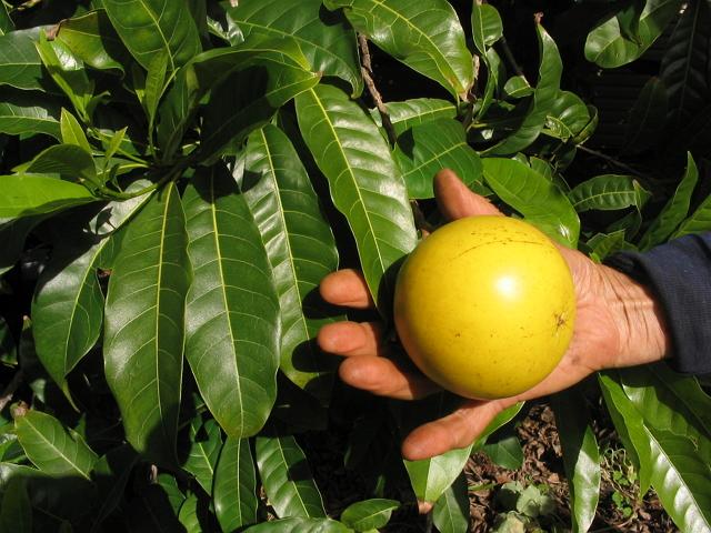 tanaman hias buah abiu sawo australia