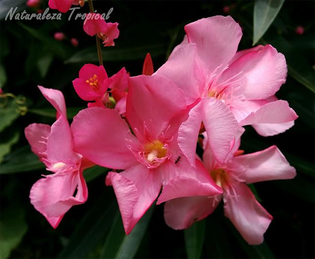 La flor Adelfa (Nerium oleander)