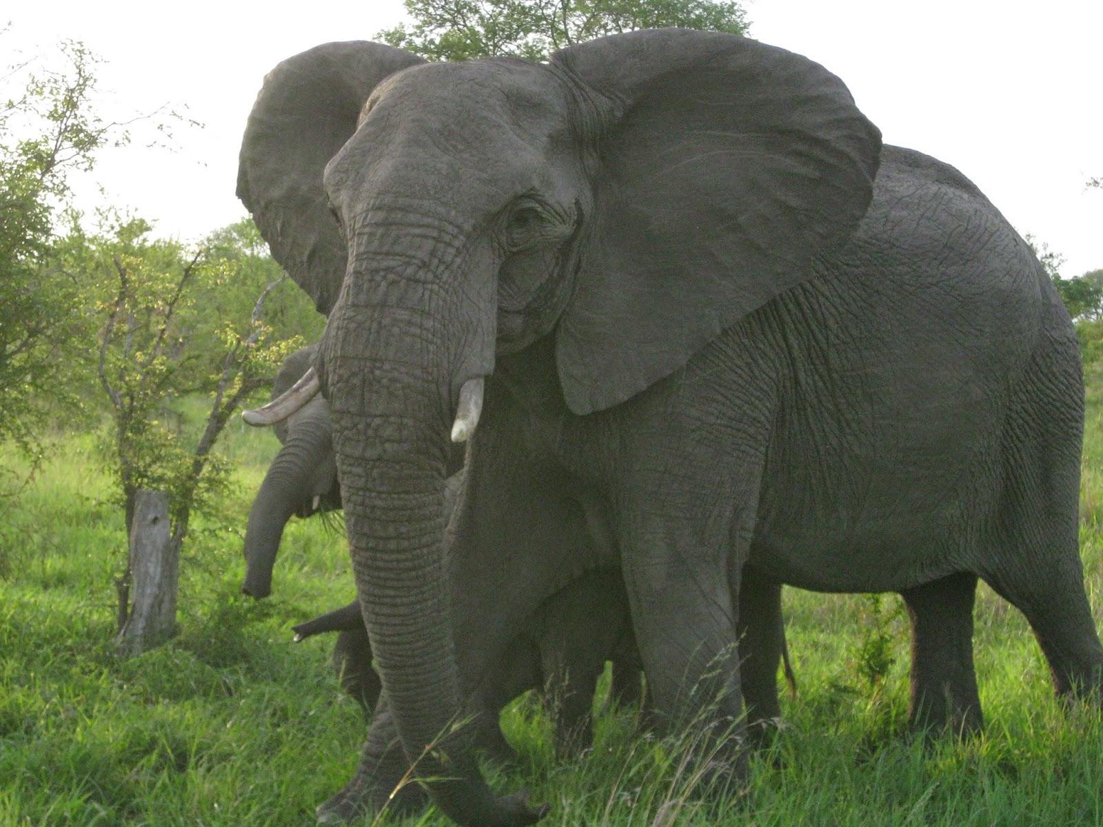 Sabi Sands - The bull elephant moves toward us so we drive off