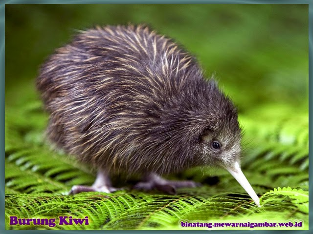 gambar binatang burung kiwi
