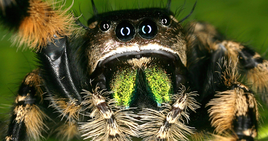 New Scientific Study Shows That Jumping Spiders Walk On Eight Legs Instead Of Six | CreativeWi.re