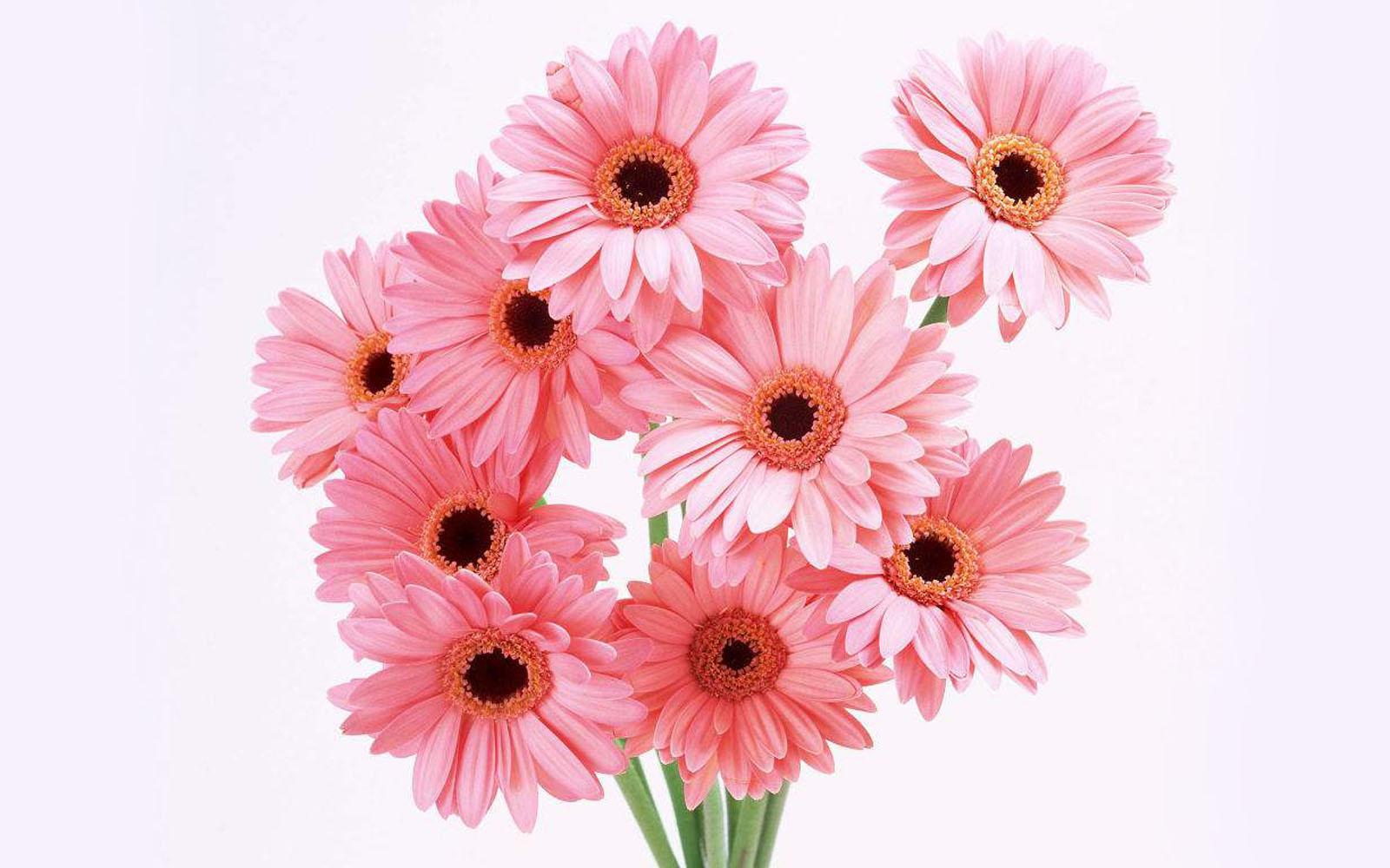 Download Apple Wallpaper Hd For Windows 7 Wallpapers Gerbera Flowers Wallpapers
