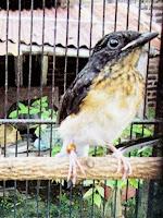 Burung Murai Batu Anakan Jantan