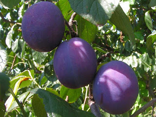 indian prune fruit images