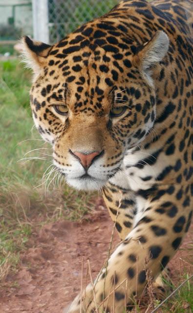 South Lakes Safari Zoo jaguar