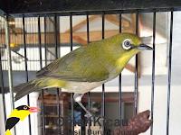 Solusi Cara Mengatasi Burung Pleci Yang Macet Bunyi