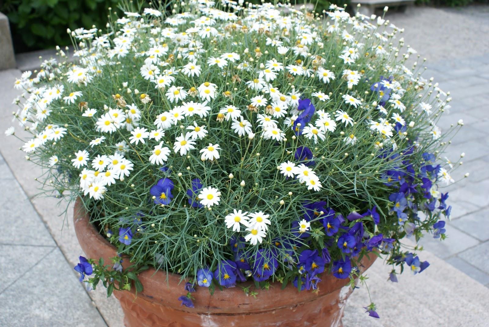 flowers isole borromee borromées isola bella lago maggiore piemonte italy
