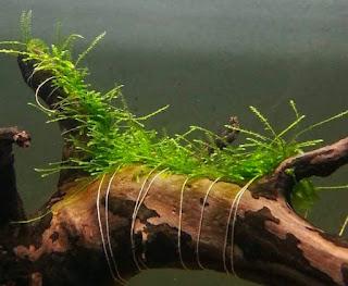 Cara Membuat Karpet Moss Aquascape