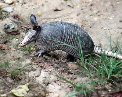 Armadillos defy evolution and support creation