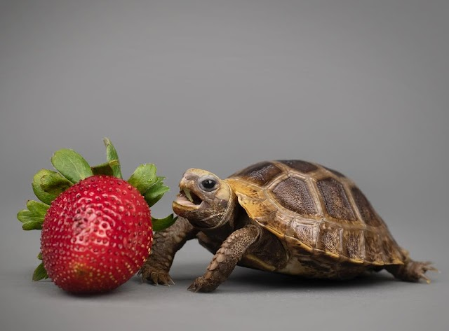 6 điều cần xem xét trước khi nuôi rùa cạn
