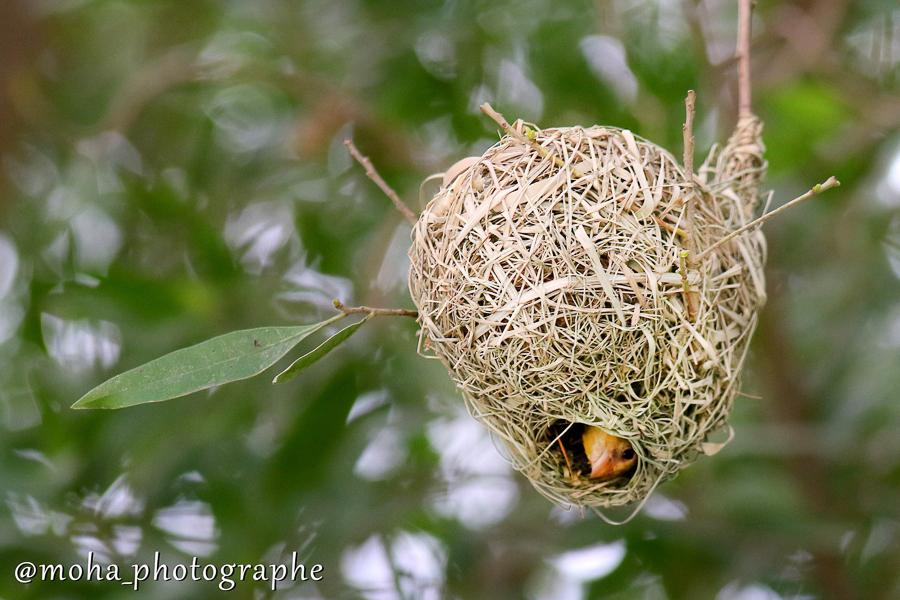 Rueppell's Weaver