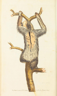 three-toed sloth, Frederick P. Nodder, 1789