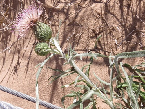 Pitcher's Thistle