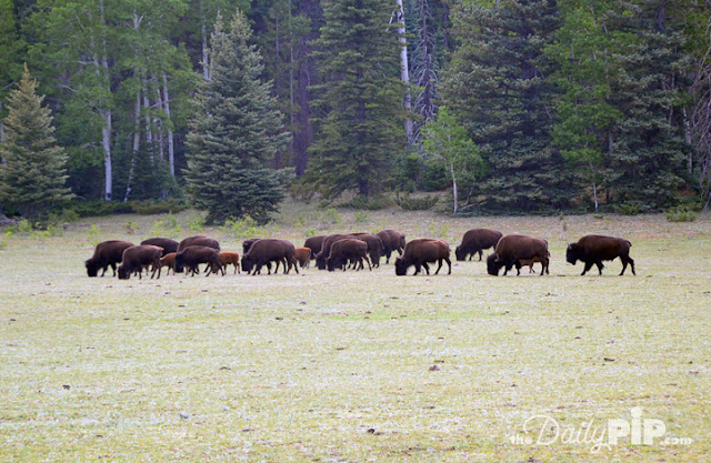 Second stop of the Best Week ever Bison at North Rim of Grand Canyon