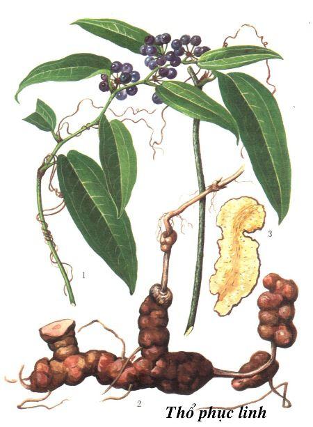 Thổ Phục Linh - Smilax glabra - Nguyên liệu làm thuốc Chữa Tê Thấp và Đau Nhức