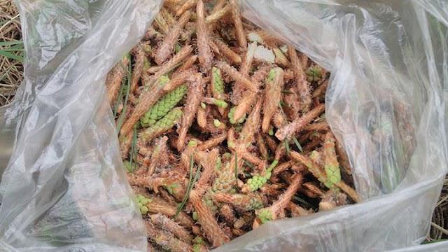 syrop z młodych pędów sosny, nalewka z młodych pędów sosny, właściwości młodych pędów sosny, lecznicze pędy sosny, pędy sosny na kaszel, pędy sosny na przeziębienie