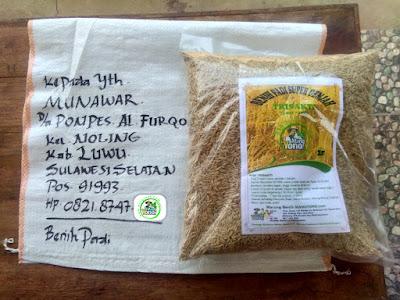 Benih pesana    MUNAWAR Luwu, Sulsel.   (Sebelum Packing)