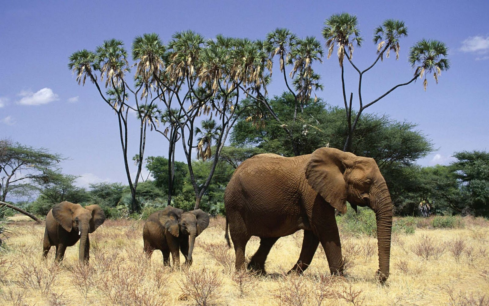 olifanten achtergronden bureaublad - photo #14