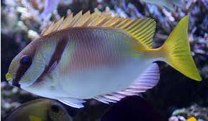 Ikan Hias Air Laut Rabbitfish