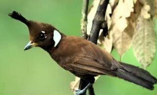 Burung Cililin Betina