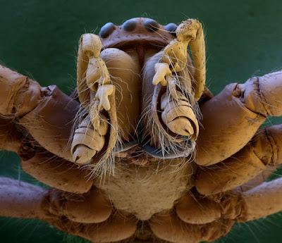 L'apparato boccale di un ragno a distanza ravvicinata. Le specie di ragno a oggi conosciute sono oltre 42.000 e le loro dimensioni vanno da un paio di millimetri agli oltre 33 centimetri di diametro dello Pseudotheraphosa apophysis.