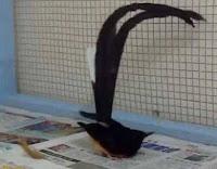 Kaki Burung Mengalami Pincang